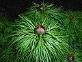 Paeonia tenuifolia 2016-04-19 7917.JPG