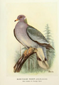 Page The Passenger Pigeon - Mershon djvu 160 - Band-tailed Pigeon.png