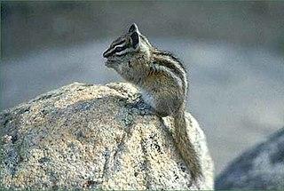 Palmers chipmunk species of mammal