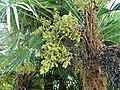 Palmier de Chine fruits Bergerac Mounet-Sully (1).jpg