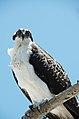 Pandion haliaetus -Sanibel Island, Florida, USA -juvenile-8 (2).jpg