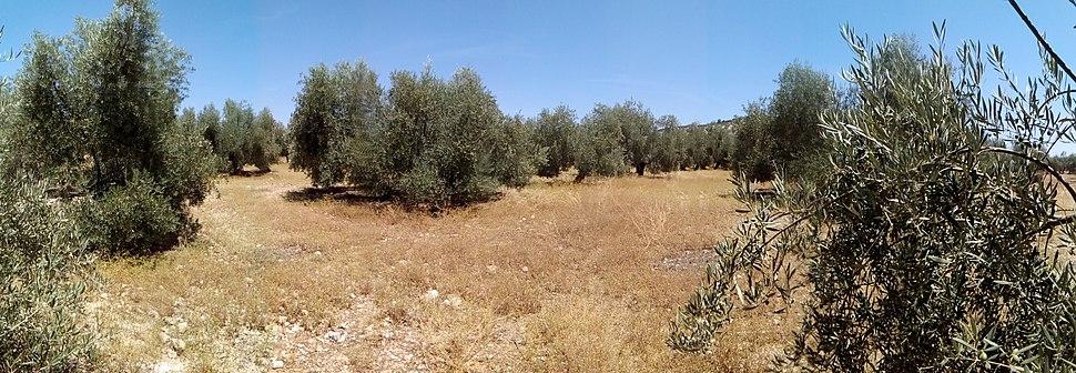 Panorámica olivar 3