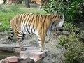File:Panthera tigris2.ogv