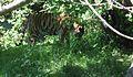 Panthera tigris altaica Tierpark Hellabrunn München.jpg