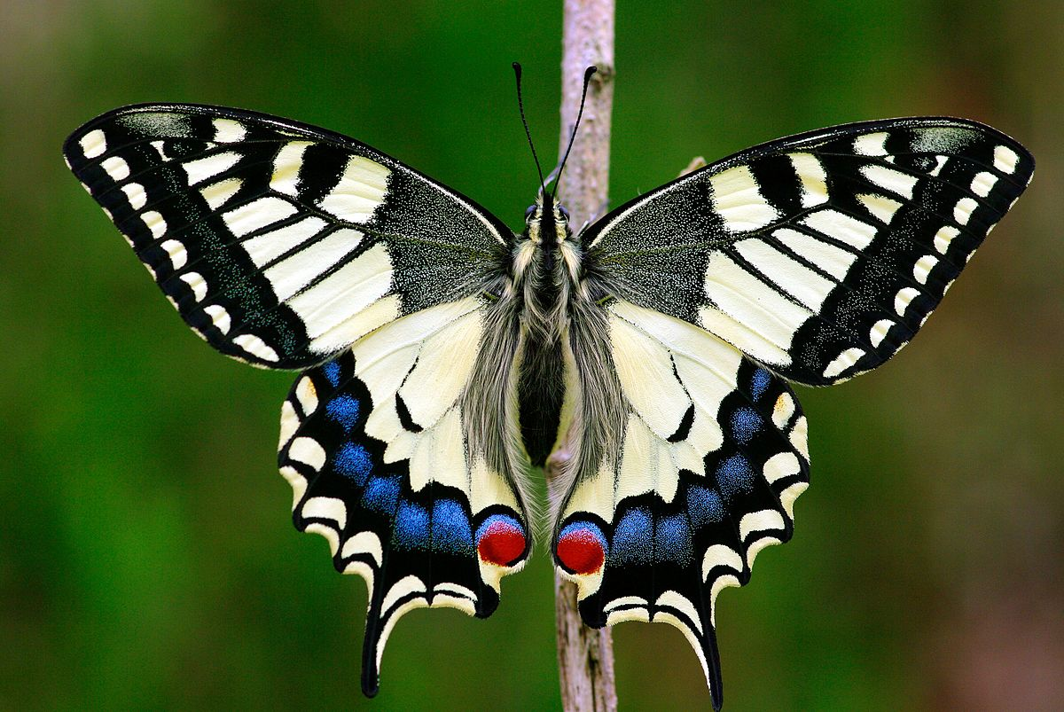 papilio machaon wikipedia