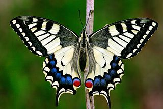 <i>Papilio machaon</i> species of insect