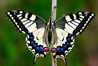 Papilio machaon - Upperside