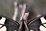 PapilioMachaon détail 01.png