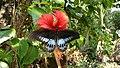 Papilio polymnestor, Blue mormon, കൃഷ്ണ ശലഭം 2.jpg