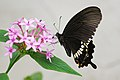 Papilio polytes polytes female f. mandane 20121028.jpg