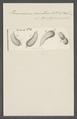 Paramecium versutum - - Print - Iconographia Zoologica - Special Collections University of Amsterdam - UBAINV0274 113 14 0018.tif
