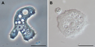 Discosea - Acanthamoeba sp.