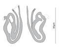 Parasite140133-fig3 Pseudorhabdosynochus regius (Diplectanidae) Sclerotised vaginae - 3A 3B.png