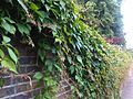 Parthenocissus quinquefolia London 1.jpg