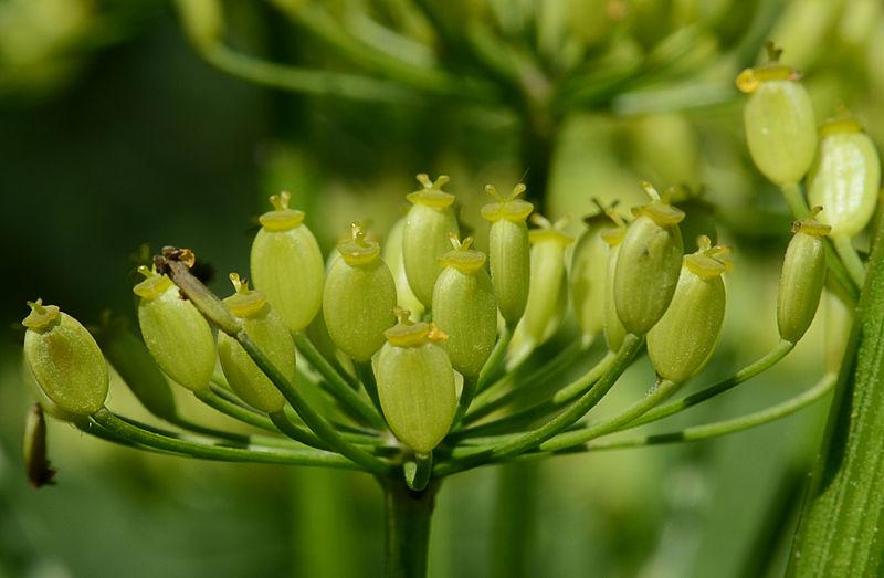 File:Pastinaca sativa subsp. sativa flowers, Pastinaak bloemen (4)klein.jpg