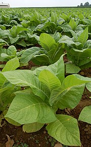 Field of tobacco organized in rows extending to the horizon.