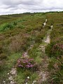 Path on Hampton Ridge, New Forest - geograph.org.uk - 477426.jpg