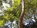 Pau Brasil - copa.jpg