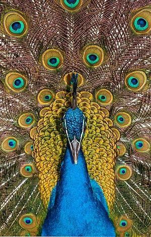 Indian peafowl; Maroparque, Breña Alta, La Palma, Canary Islands, Spain