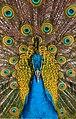 Pavo cristatus - Maroparque 03.jpg