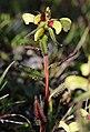 Pedicularis lapponica Kilpisjärvi 2012-07.jpg