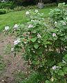 Pelargonium panduriforme 02.jpg