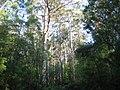 Pemberton Karri forest 1.jpg