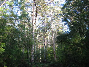 Warren (biogeographic region) - Karri forest near Pemberton. This forest is recovering from extensive logging, and most trees pictured are quite young.