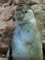 Penguins Loro Parque 01.JPG