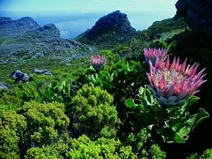 Cape Peninsula - A king protea growing in Peninsula Sandstone Fynbos on Table Mountain