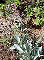 Penstemon patens Owens-Valley penstemon plant.jpg