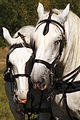 Percherons Blancs Cl J Weber0008 (23456657123).jpg
