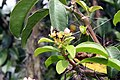 Pereskia grandifolia 30zz.jpg