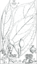 Botanical illustration of Peridiscus lucidus