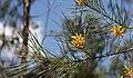 Persoonia juniperina Prickly Geebung buds (8351755193).jpg