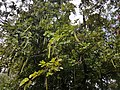 Phanera purpurea tree with fruits (Philippines).jpg