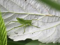 Phaneroptera falcata 05.JPG
