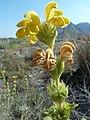 Phlomis crinita1.jpg