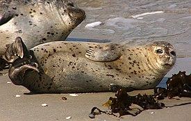 Обыкновенный тюлень на суше