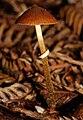 Pholiotina rugosa 62373.jpg