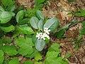 Photinia melanocarpa 5227.jpg
