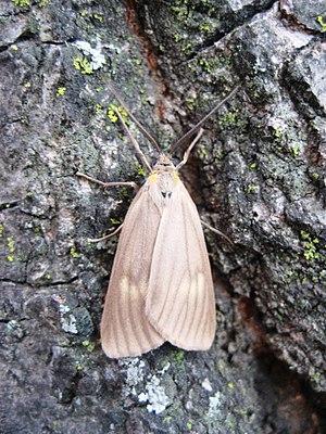 Phryganidia californica - Image: Phryganidia californica Moth