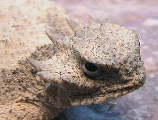 Roundtail horned lizard species of reptile