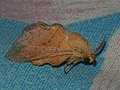 Phyllodesma tremulifolium ♂ - Aspen lappet (male) - Коконопряд осиноволистный (самец) (40963153192).jpg