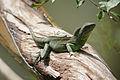Physignathus cocincinus, Indochinese waterdragon - Khao Yai National Park (10847172563).jpg
