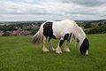 Piebald Cob stallion.jpg