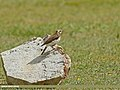Pied Wheatear (Oenanthe pleschanka) (27798012610).jpg