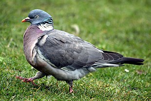 Pigeon by Keven Law.jpg
