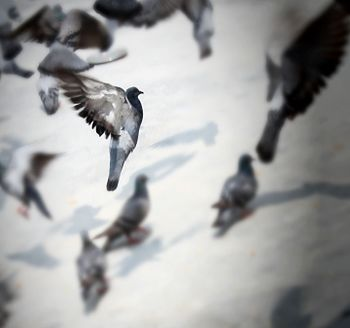 Pigeons and doves @Banglore.jpg