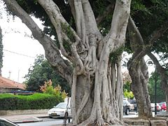 PikiWiki Israel 313 The old tree הפיקוס הוותיק.JPG